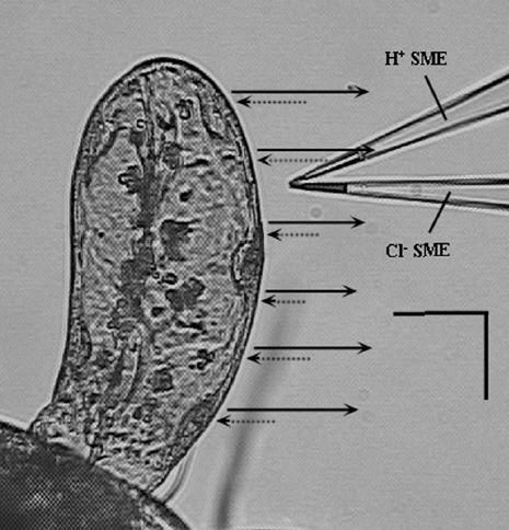 Measurement of chloride and hydrogen ion fluxes at the midge anal papillae with the Scanning Ion-selective Electrode Technique (SIET).